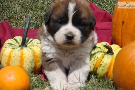 st bernard puppies for sale near me bernard st bernard puppy for sale near state college pennsylvania 4d2765df