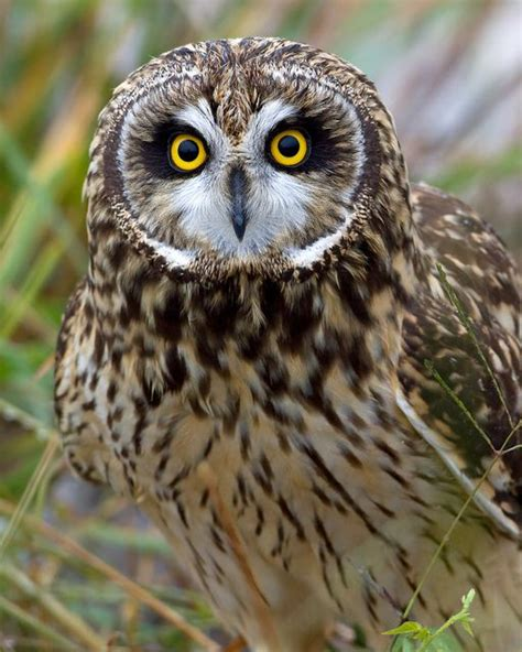 pin by linda king on short earred owls asio flammeus