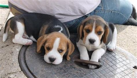 Beagle Sale Singapore Beagle Puppies Buy Buy Beagle Breeders Beagle Dogs Breed