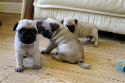 rescue pugs for sale uk pugs for sale retford nottinghamshire pets4homes