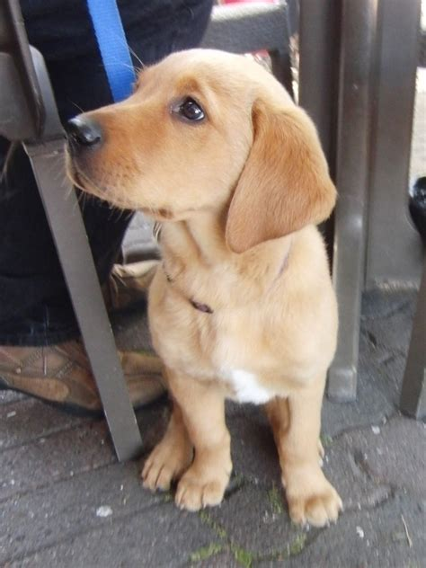 golden retriever lab mix slightly late of the day the adorable lab golden mix puppy the dogs of