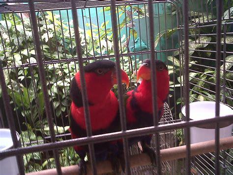 Tempat Makan Burung Nuri burung nuri kepala hitam honey bee