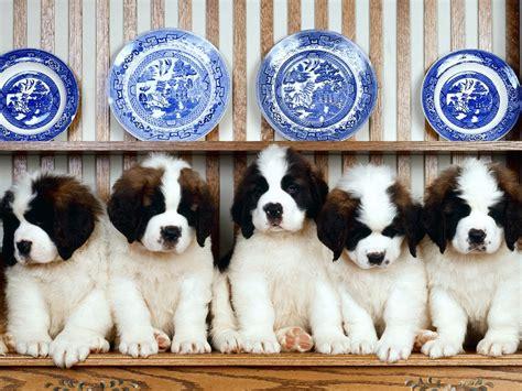 st benard puppies st bernard animals wiki pictures stories