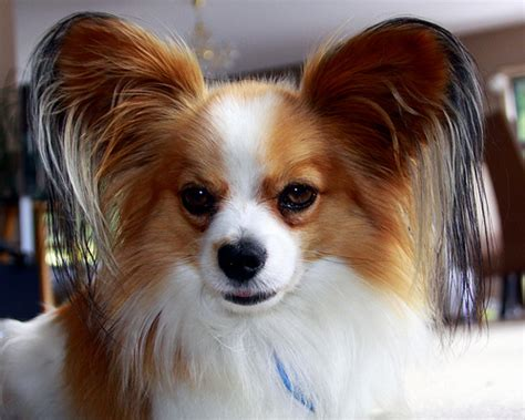 papillon puppy price how much do papillon puppies cost howmuchisit org