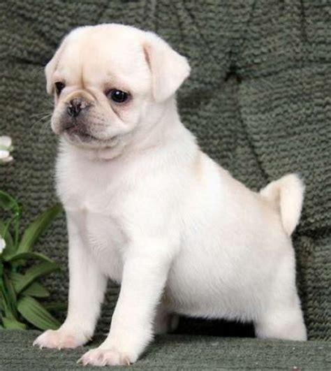 marshmallow white pug best 25 white puppies ideas on