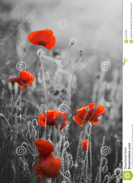 red poppy flowers remembrance day sunday stock photo image 53793102
