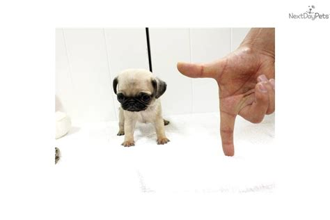 micro pug puppies pug puppy for sale near jackson mississippi 1795a8dd 3ba1