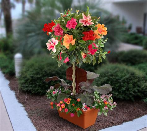 cottage farms hibiscus cottage farms flowering tropical hibiscus tree qvc