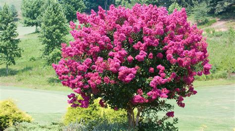 Top 10 Small Trees Sunset Small Flowering Trees For Small Gardens