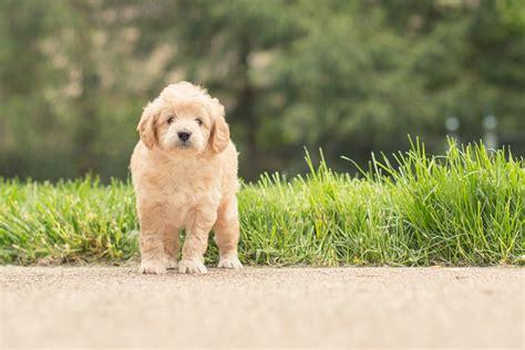 golden retriever poodle cross puppies about our minidoodle puppies royal minidoodles royal minidoodles