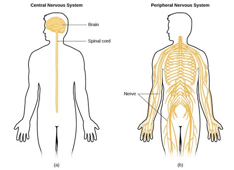 diagram of central and peripheral nervous system parts of the nervous system introduction to psychology