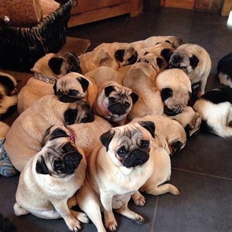 cuddle pugs puppy cuddle puppies pug dogs snuggle pugs cuddles pugstagram puglife
