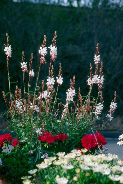 gaura ranks   souths hottest plants mississippi