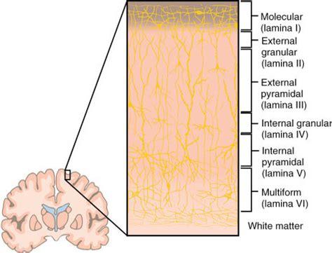 layers of cerebral cortex