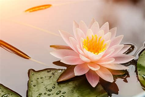 best image royalty free lotus flower pictures images and stock