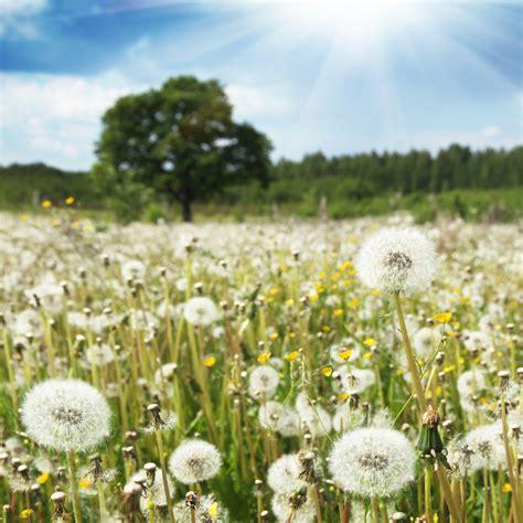 Dandelion Wishes cellar designs dandelion wishes