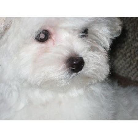 maltese puppies for sale mn tootie s maltese maltese breeder in anoka minnesota