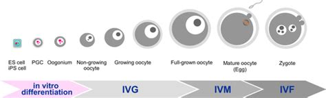 interaction  growing oocytes  granulosa cells