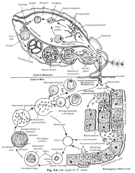 plasmodium falciparum diagram cycle of plasmodium in mosquito with diagram