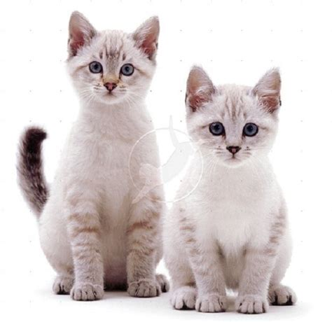 white bengal cat kittens cute cool pets 4u white bengal cats pictures and wallpapers