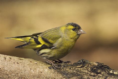 siskin fleet pond blog