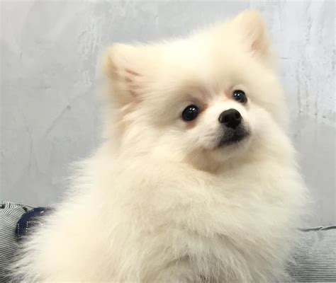 orange and white pomeranian pomeranian probably the cutest breed k9 research lab