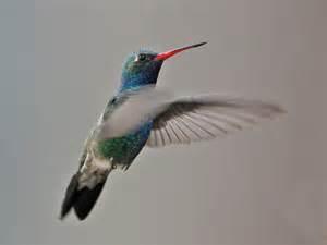 some winter hummingbirds in arizona
