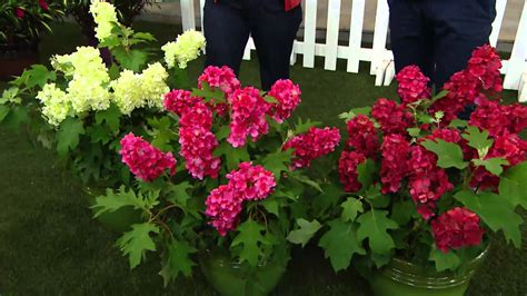 ruby slippers oakleaf hydrangea cottage farms 2 pc ruby slippers oakleaf hydrangea with