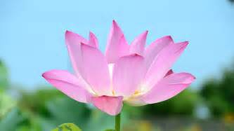 Pink Lotus Flower Pink Lotus Flower Hd Desktop Wallpaper Widescreen High