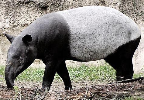 Gajah Madu makhluk hidup langka dan harus kita jaga agar tidak punah