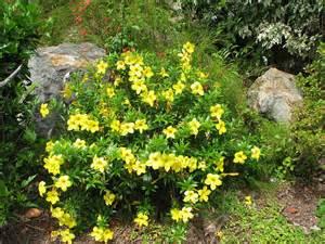 Ornamental Climbing Plant - plants amp flowers 187 allamanda aubletii