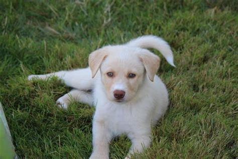 puppy gets hiccups a lot ivory the retriever mix puppies daily puppy