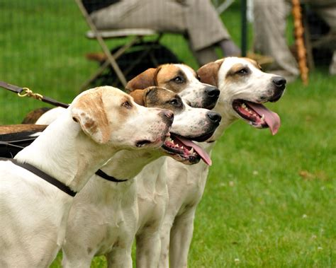 Treeing Walker Coonhound | Dogs and some of their famous ...