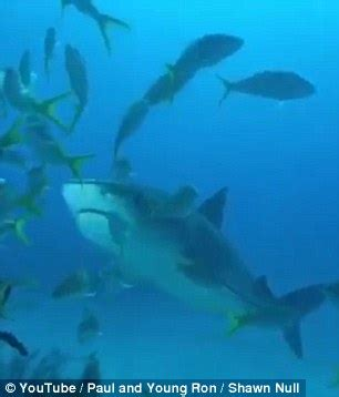 tiger shark steals $10k camera from diver who attempts to
