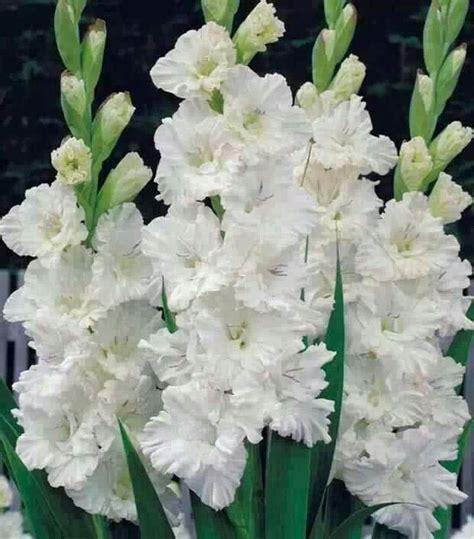imagenes de flores gladiolas flores blancas gladiolas pinterest colors