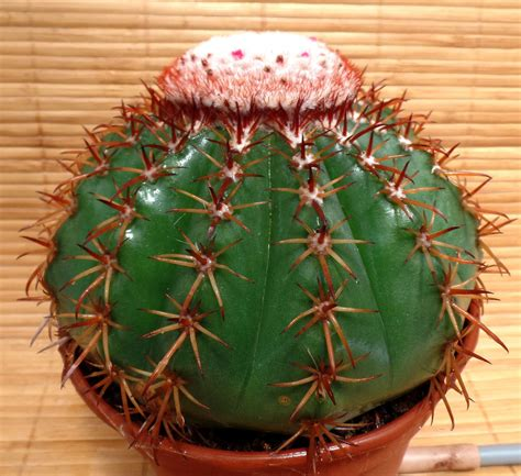 Melocactus Ernestii melocactus ernestii kissy frott