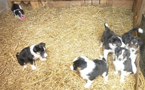 border collie puppies for sale california border collie puppies for sale auto design tech