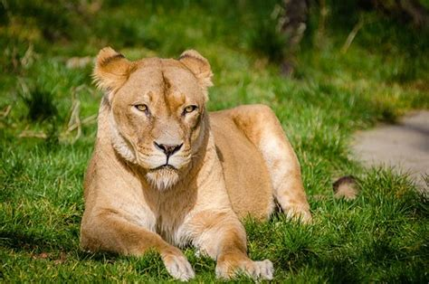 difference between lion and lioness difference between lion and lioness little tiger with a