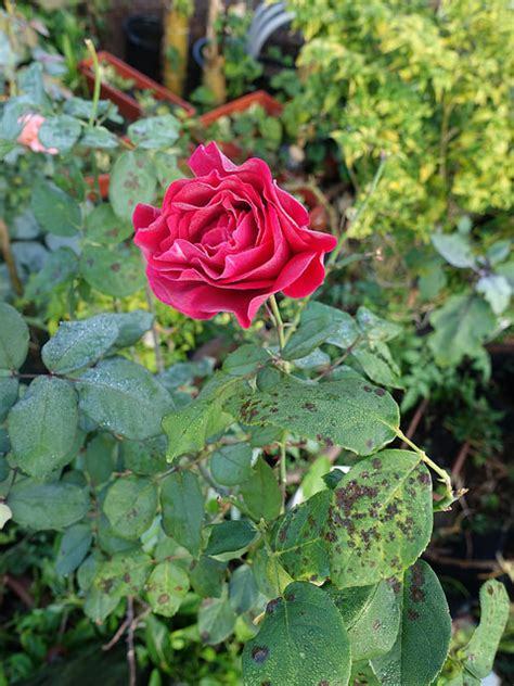 whats wrong with my whats wrong with my bush troubleshooting common problems jeanette s garden