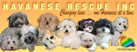 havanese rescue illinois kandl kidz specializing in healthy happy havanese