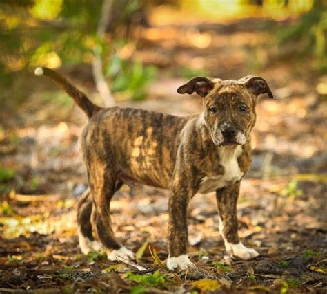 brindle colored dogs for pits coat color genetics