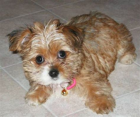 chihuahua yorkie shih tzu mix the shih tzu mix puppies daily puppy