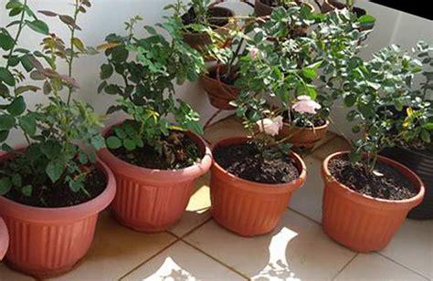 gambar tanaman bunga mawar mitalom