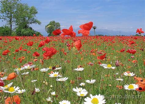 fiori di papaveri fiori papaveri 002