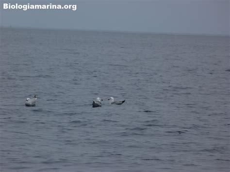 gabbiano corso gabbiano corso 24 biologia marina mediterraneo