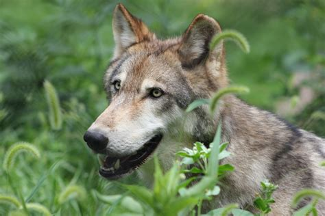 Smiling Wolf white wolf 17 pictures of happiest wolves who show the