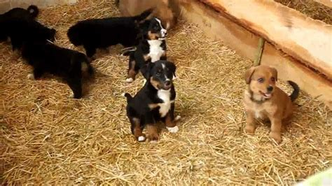 bernese mountain mix puppies for sale bernese mountain mix puppies for sale