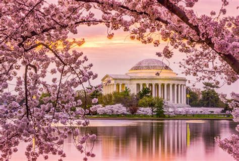cherry tree near me cherry blossom festival dc 2018 when to expect peak bloom this year thrillist