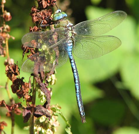 dragonfly pictures pics images