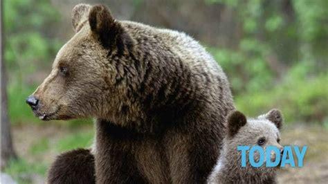l orso della casa quot un ladro aiuto quot ma era un orso entrato in casa di notte